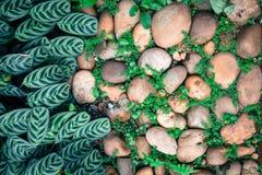 Pianta verde con le foglie che crescono attraverso la pietra dei ciottoli con la c Immagine Stock