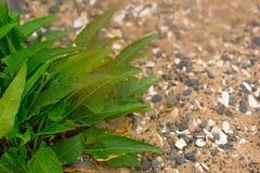 Pianta verde con le foglie lunghe sui ciottoli di un mare del fondo Fotografie Stock