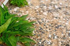 Pianta verde con le foglie lunghe sui ciottoli di un mare del fondo Immagine Stock