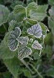 Pianta verde congelata Fotografia Stock Libera da Diritti