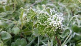 Pianta verde congelata della menta Fotografie Stock Libere da Diritti
