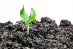 Pianta verde crescente Immagine Stock Libera da Diritti