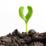 Pianta verde crescente Immagini Stock