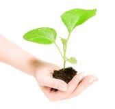 Pianta verde crescente in una mano Fotografie Stock Libere da Diritti