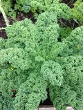 Pianta verde del cavolo Fotografia Stock
