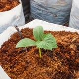 Pianta verde del cetriolo Immagini Stock Libere da Diritti