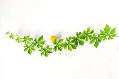 Pianta verde del cetriolo amaro su fondo bianco immagine stock