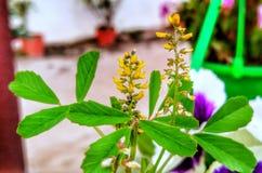 Pianta verde del fiore giallo della erba medica fotografia stock