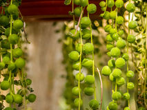 Pianta verde del globo Fotografia Stock
