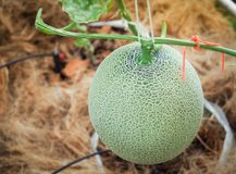 Pianta verde del melone che cresce nell'azienda agricola Fotografia Stock Libera da Diritti