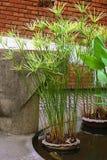 Pianta verde del papiro Immagini Stock Libere da Diritti