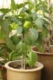 Pianta verde del peperone dolce del peperoncino rosso Fotografie Stock Libere da Diritti