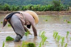 Pianta verde del riso asiatico dell'agricoltore sul lavoro Fotografia Stock Libera da Diritti