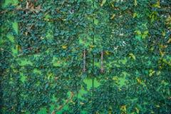 Pianta verde dell'edera fotografie stock libere da diritti