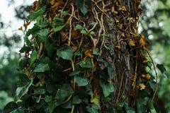 Pianta verde dell'edera che cresce su un vecchio albero Concetto di giardinaggio ed invecchiare della fauna selvatica, immagini stock libere da diritti
