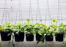 pianta verde dell'edera che hanking nell'arco di plastica Immagini Stock Libere da Diritti