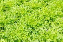 Pianta verde dell'insalata della lattuga di foglia nel sistema idroponico Fotografia Stock Libera da Diritti