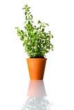 Pianta verde dell'origano in vaso Immagini Stock