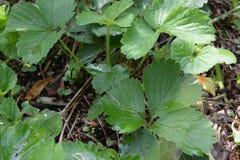 Pianta verde della fragola di Quinault Everbearing fotografia stock libera da diritti