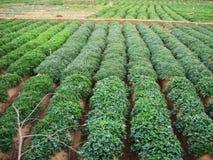 Pianta verde della patata dolce Foglia della verdura Fotografia Stock Libera da Diritti