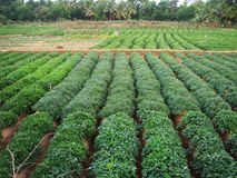 Pianta verde della patata dolce Foglia della verdura Immagine Stock