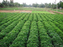 Pianta verde della patata dolce Foglia della verdura Immagine Stock Libera da Diritti