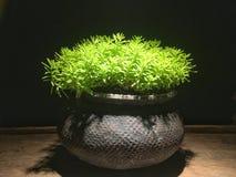 Pianta verde di angelina del rupestre di sedum nel vaso di argilla al forno con l'accensione della riflessione fotografia stock