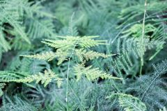 Pianta verde di asparagus setaceus Immagine Stock