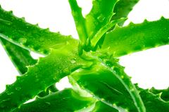 pianta verde di vera dell'aloe su fondo bianco Immagine Stock Libera da Diritti