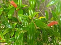 Pianta verde ed arancio del pesce dell'oro Fotografia Stock