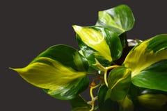 Pianta verde esotica del rampicante di Scandens Brasile del Philodendron con le bande gialle su fondo scuro fotografia stock libera da diritti