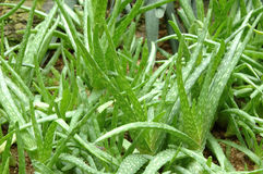 Pianta verde fresca dell'aloe Immagini Stock