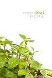 Pianta verde isolata su bianco Fotografia Stock
