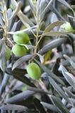 Pianta verde oliva (grande) Immagine Stock