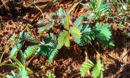 Pianta verde in sole di mattina Fotografie Stock Libere da Diritti
