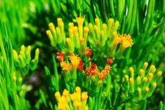 Pianta verde succulente del primo piano con i fiori gialli fotografia stock libera da diritti