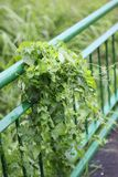 Pianta verde sul recinto Fotografia Stock