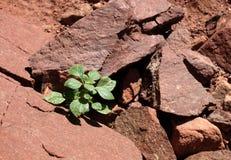 Pianta verde sulla roccia Fotografia Stock