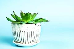 Pianta verde in un vaso con le goccioline di acqua su fondo blu Immagine Stock