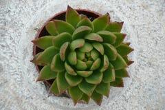 Pianta verde in un vaso di pietra Fotografia Stock Libera da Diritti