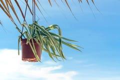 Pianta verde in vaso con cielo blu Fotografia Stock