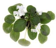 Pianta viola con i fiori bianchi Immagine Stock