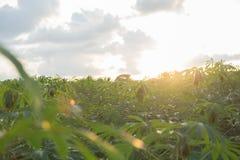 Piantagione ad ovest leggera della manioca Immagini Stock