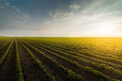 Piantagione agricola della soia il giorno soleggiato - soybea crescente verde Fotografia Stock