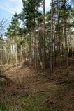 Piantagione BRITANNICA del pino dell'habitat Fotografie Stock