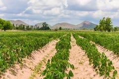 Piantagione che coltiva, crescita della manioca della manioca Fotografia Stock Libera da Diritti