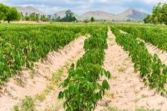 Piantagione che coltiva, crescita della manioca della manioca Immagini Stock Libere da Diritti