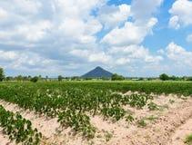 Piantagione che coltiva, crescita della manioca della manioca Immagine Stock