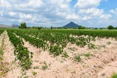 Piantagione che coltiva, crescita della manioca della manioca Fotografie Stock Libere da Diritti