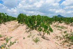 Piantagione che coltiva, crescita della manioca della manioca Immagine Stock Libera da Diritti